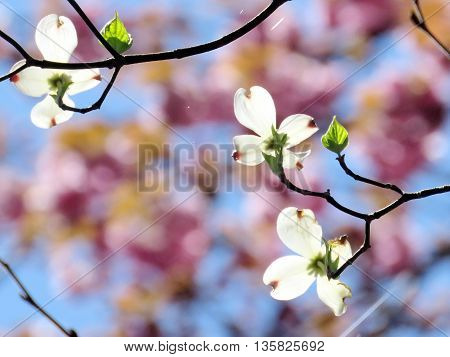 The beautiful dogwood flower in forest of Mclean near Washington DC 15 April 2016 USA