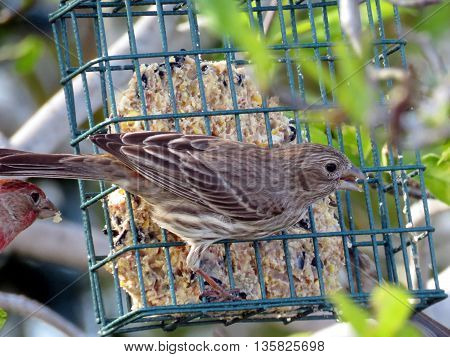 The Female Purple Finch in South Bethany Delaware 7 May 2016 USA