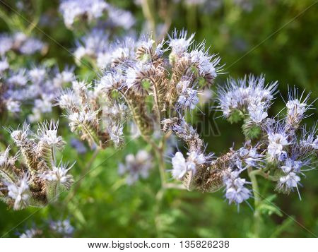 Bee collecting honey on a flowering phacelia