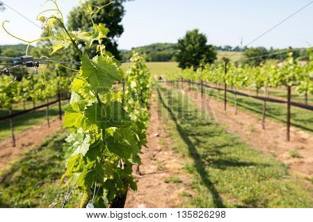 A Vineyard in central southern Tennessee near Franklin