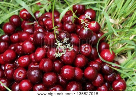 Cherry is scattered in the green grass