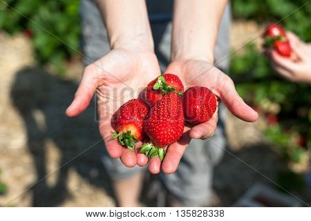 Two hands of a woman on a field holding freshly picked strawberries