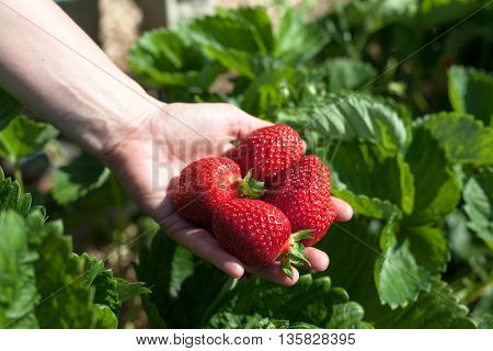 A hand of a woman on a field holding freshly picked strawberries