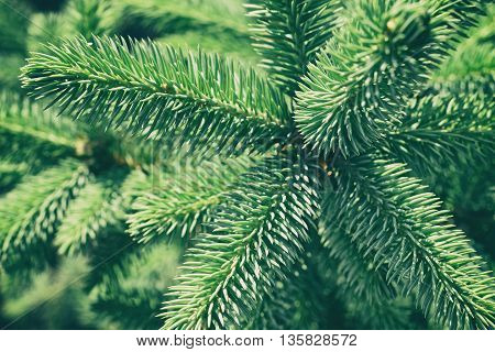 Green spruce for background in retro style