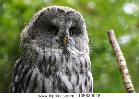 a beautiful owl . a stunning bird probably waiting for something to eat
