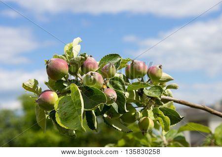 Little apples on the tree in the garden. Household plot. Dacha.