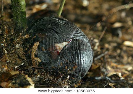 Rafflessia