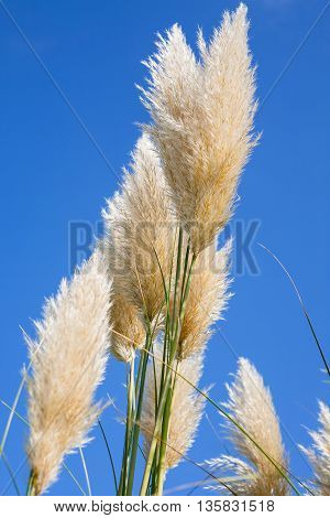 Pampas grass with a blue sky background