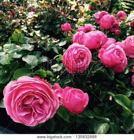 Beautiful pink antique style roses in the summer garden.