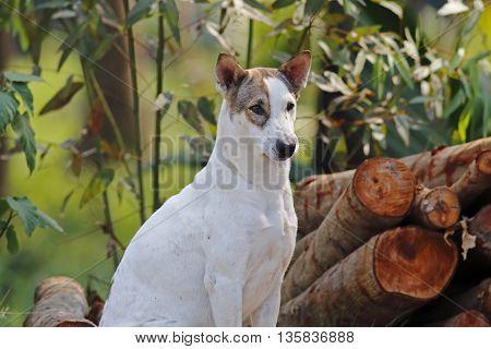 White Street Dog sitting in Bangkok Thailand