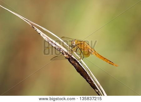 Scarlet Dragonfly (Crocothemis erythraea). Scarlet-darter, odonata, Macro