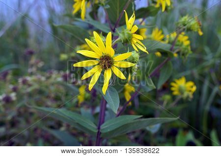 A prairie rosinweed (Silphium integrifolium), also known as the whole-leaf rosinweed and the entire-leaf rosinweed, blooms next to a small lake in Shorewood, Illinois.