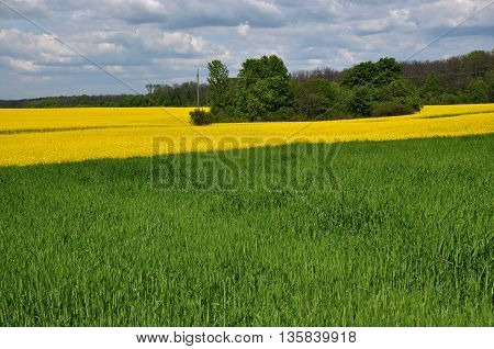 Spring landscape with strips of wheat-rape fields and forests on the background of clouds