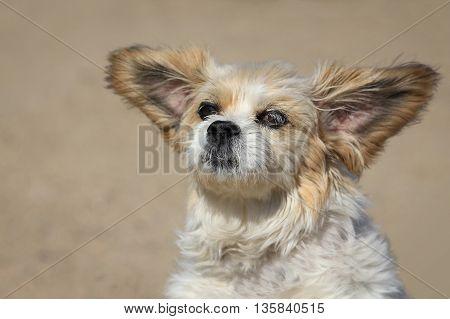 Funny Lhasa Apso Dog With Big Ears