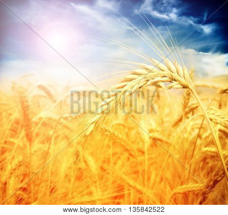 wheat ,closeup
