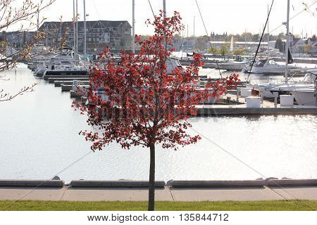 Beautiful tree in spring with boats and yachts in slip in Racine, Wisconsin
