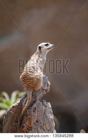 Adorable Meerkat sitting high on wooden stump looking right.