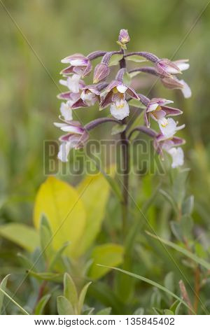 Marsh Helleborine (Epipactis palustris) flowering in a Dune Valley between the vegetation
