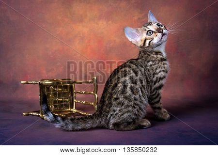 Brown bengal kitten background chair fantastic gold