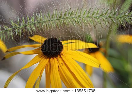 Black eyed Susan flower with fuzzy brush