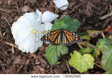 Monarch butterfly resting on white flower with green leaf