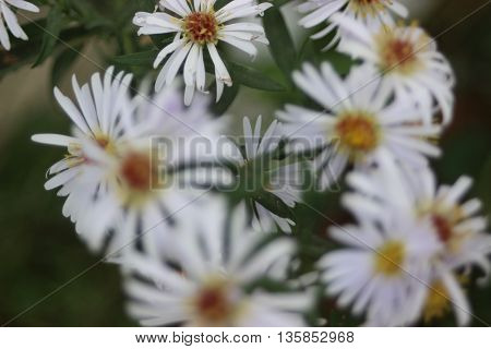 Small white bunch of flowers close up