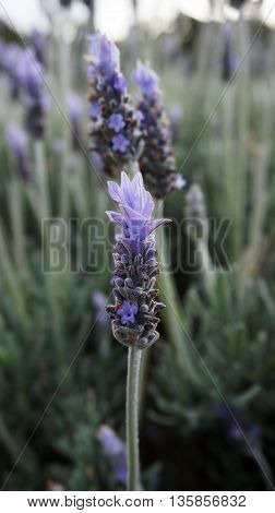 Many Lavender flowers in the field in spring