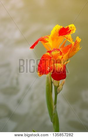 Radiant Canna Lily Blossom On A Summer Day