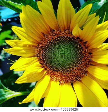 A detail of sunflower growing in the sun