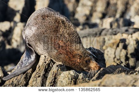 One New Zealand seal wanting to sleep rough.