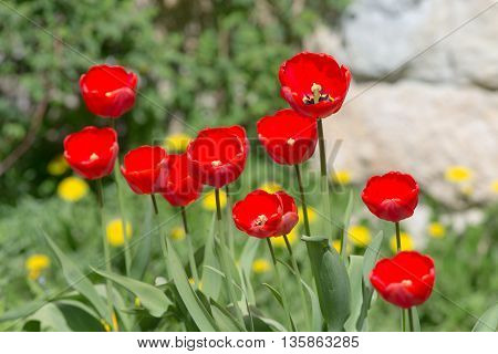 red tulips in the spring in the foreground