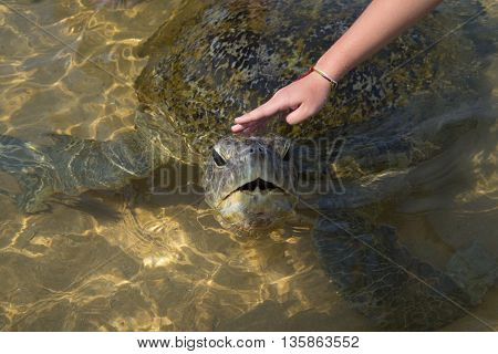 Woman's hand stroking the head of a large sea turtle on the shore of the ocean. Sri Lanka