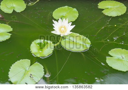 white lotus flower and lotus Leafwater lily select focus lotus Soft focus background.
