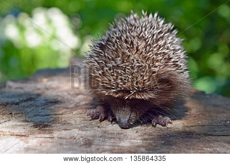 Young hedgehog curled up to protect himself. The hedgehog walk on nature sunny summer day.Wild courageous hedgehog in the forest.