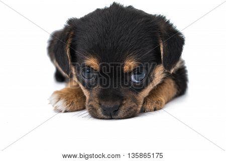 animal black  puppy isolated on white background