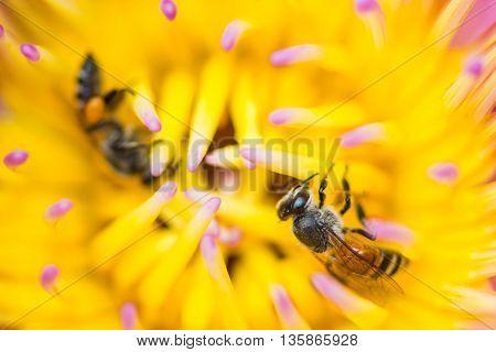 little cute bee on yellow lotus flower