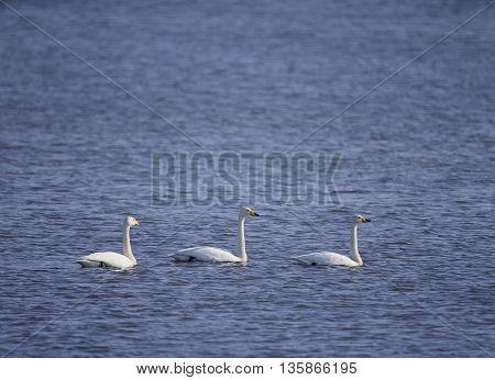 waterfowl mallard Poultry river lagoon Life art  background