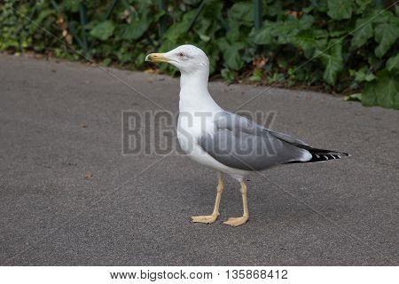 Seagull walking undisturbed on a paved road
