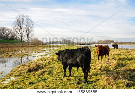 Picturesque image of black and red-brown Galloway bulls in a partly flooded area. It is a sunny day in the beginning of the winter season. A thin layer of ice is on the water.