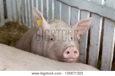 Large White Swine On Farm