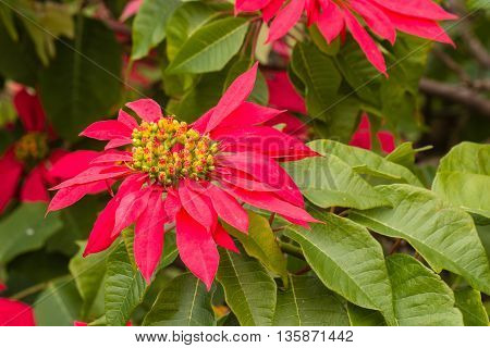 close up of poinsettia plant in bloom