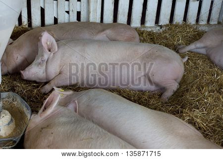 Pigs Sleeping Beside Hog Feeder