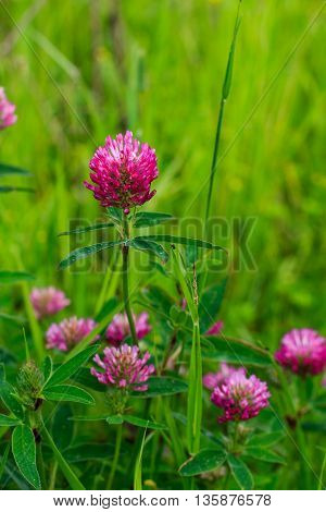 Meadow With Blooming Red Clover