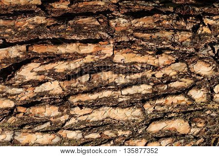 The Bark Of Old Pine Tree Texture