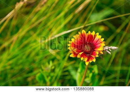 Gaillardia Blanket Flower with small bug on petals