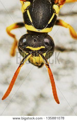 Wasps head closeup in the summer garden