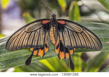 Great Yellow Mormon Butterfly On A Plant
