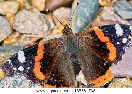 Admiral (Vanessa atalanta) in the garden on a summer day basking on the pebbles