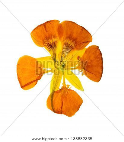 Pressed and dried delicate yellow colored flowers nasturtium (tropaeolum). Isolated on white background. For use in scrapbooking pressed floristry (oshibana) or herbarium.