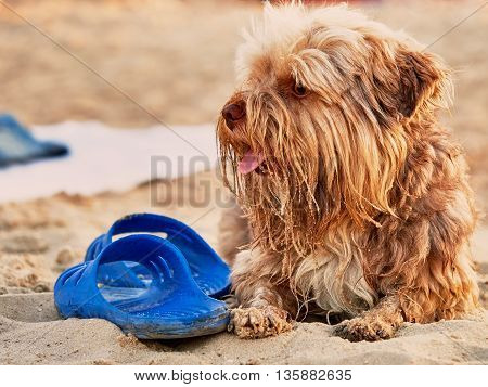 Dog guards slippers on the beach summer day